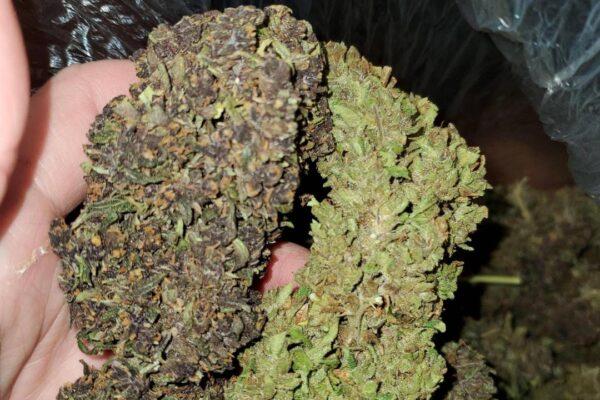 hemp flower3 alpen Gleaux
